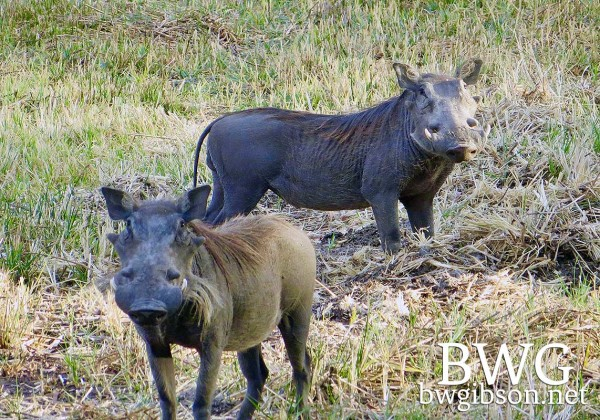 Hungry warthogs