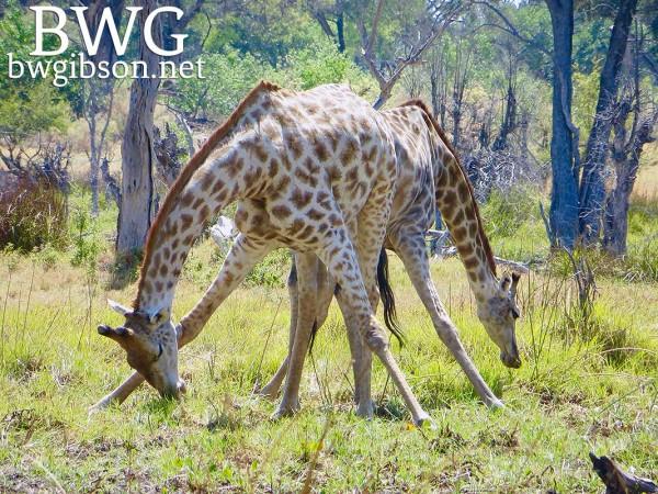Giraffe Stride