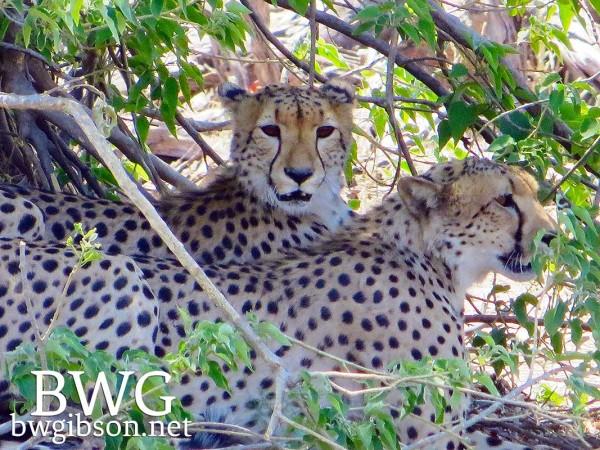 Hungry Cheetahs