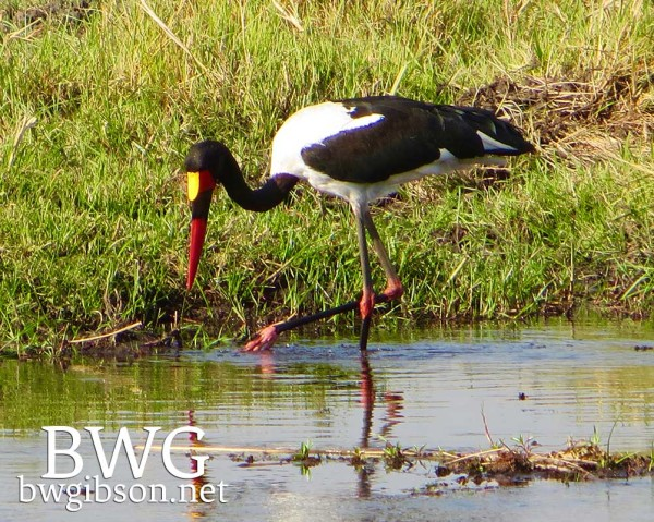 Red Billed Stork