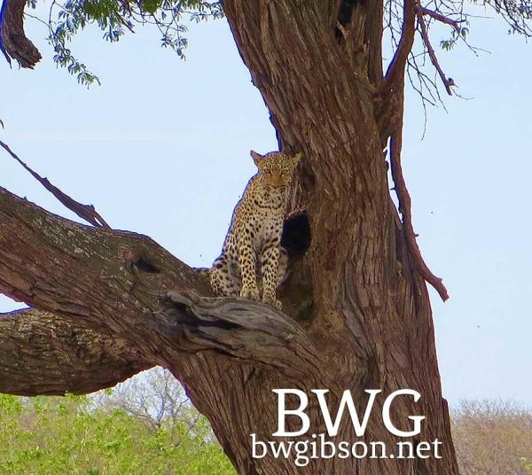 Cat in Acacia