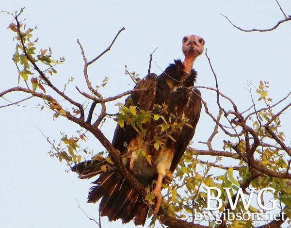 Hwange Vulture