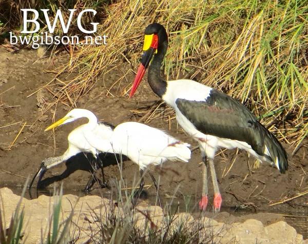 Stork and Egret