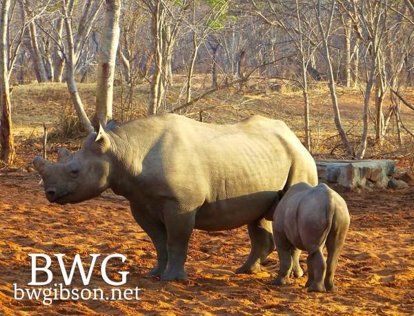 Nursing Rhino