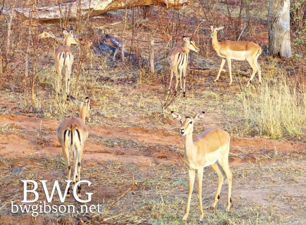 Impalas at Livingstone